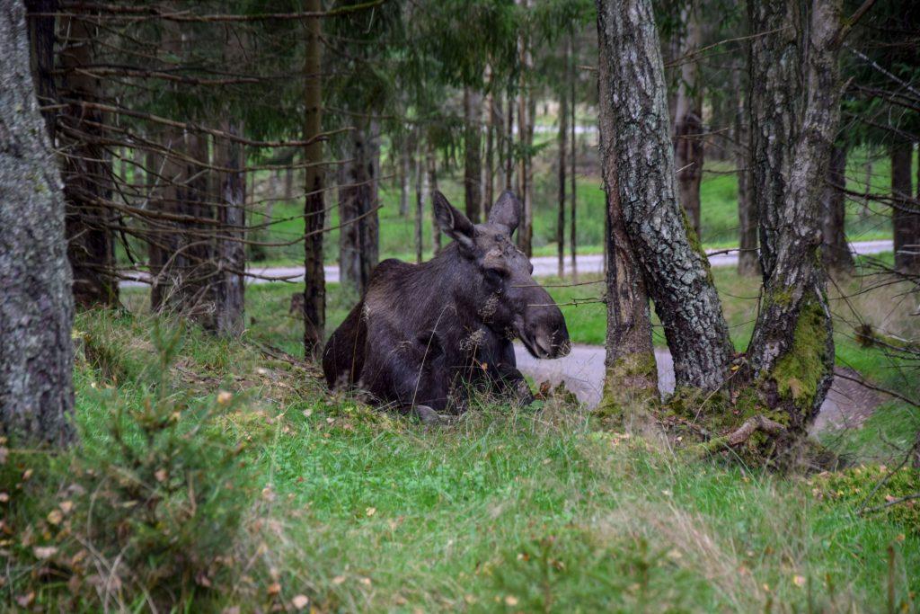 Elchpark in Schweden