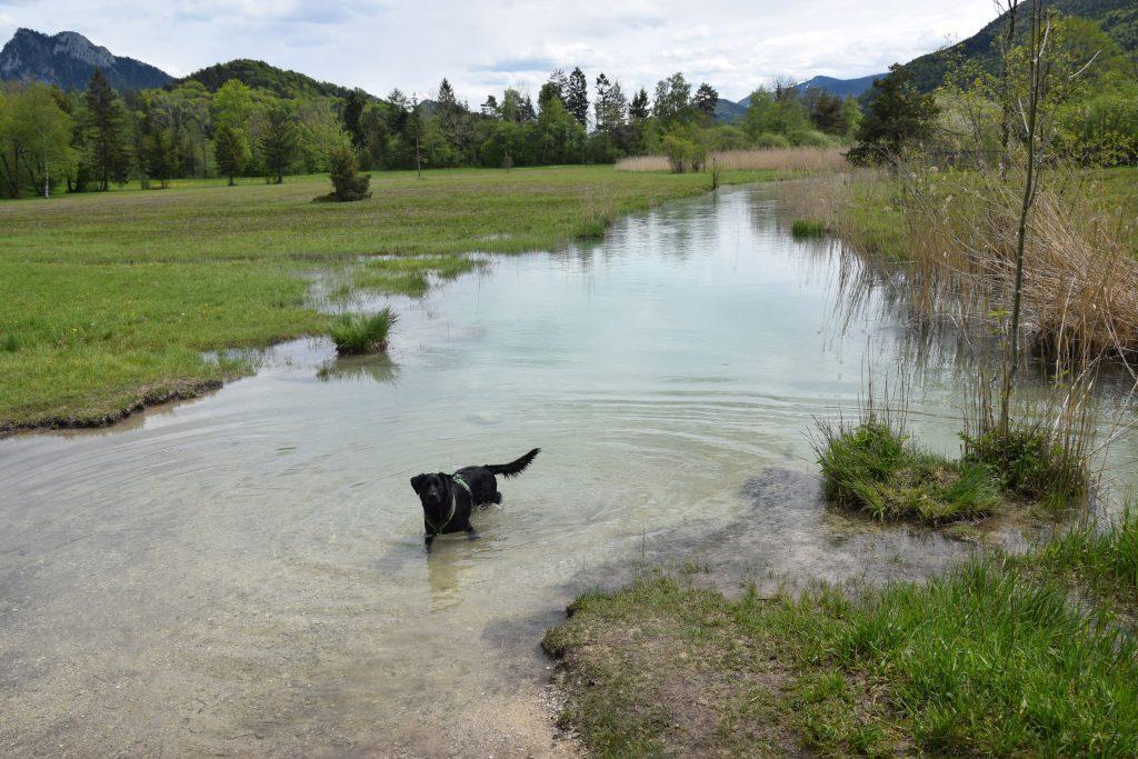 Hund im Fluss Salzburg