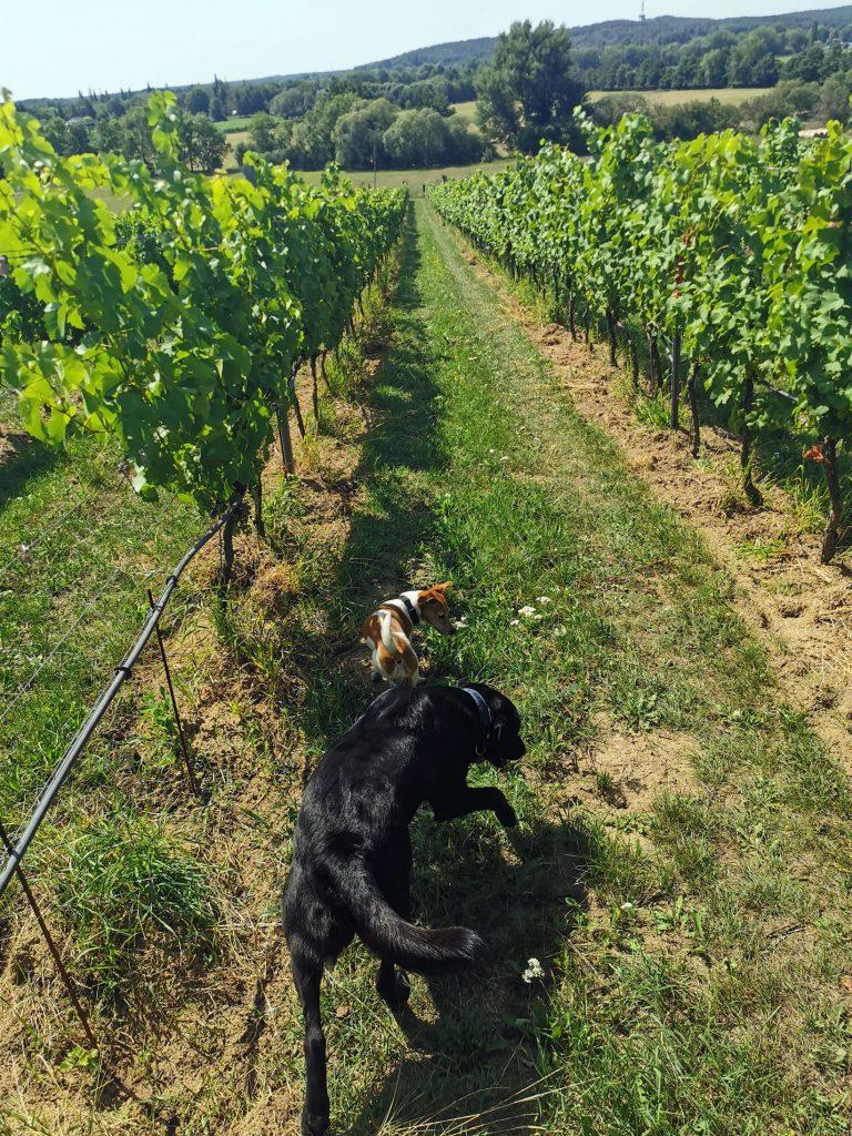 Hunde am Weinberg