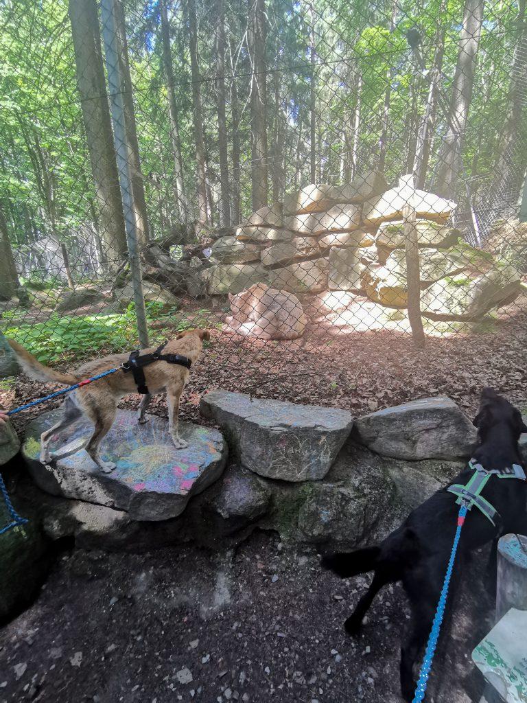 Hunde beobachten Bär