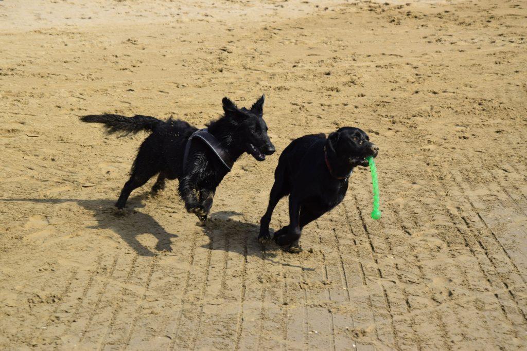 Hunde laufen am Hundestrand Union Lido