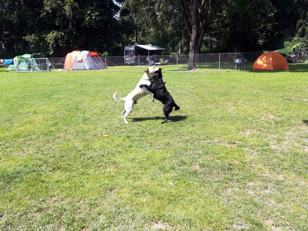Hunde spielen am Campingplatz Waging am See