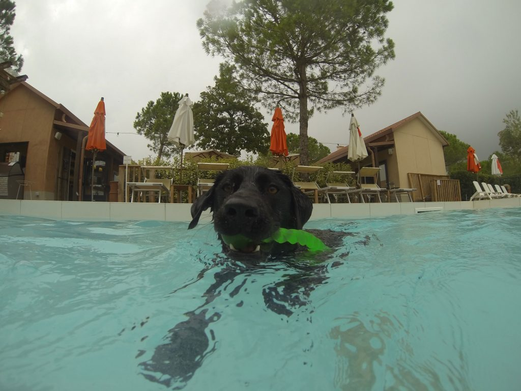 Labrador schwimmt in Hundepool Dog Camp Union Lido