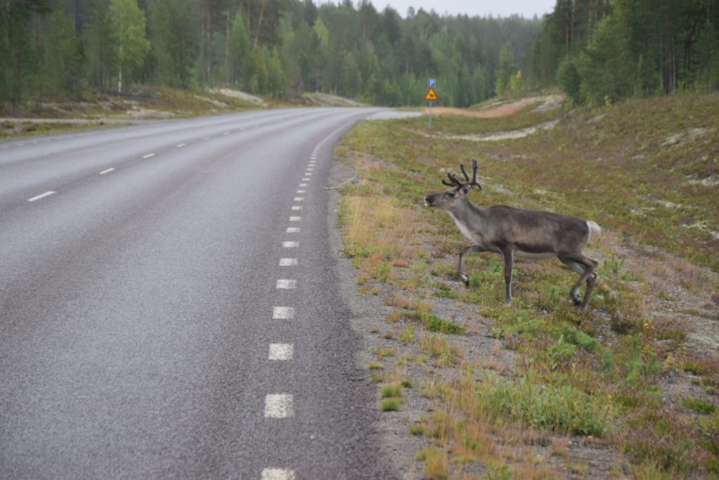 Rentier in Schweden