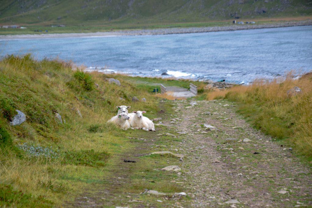 Schafe auf den Lofoten