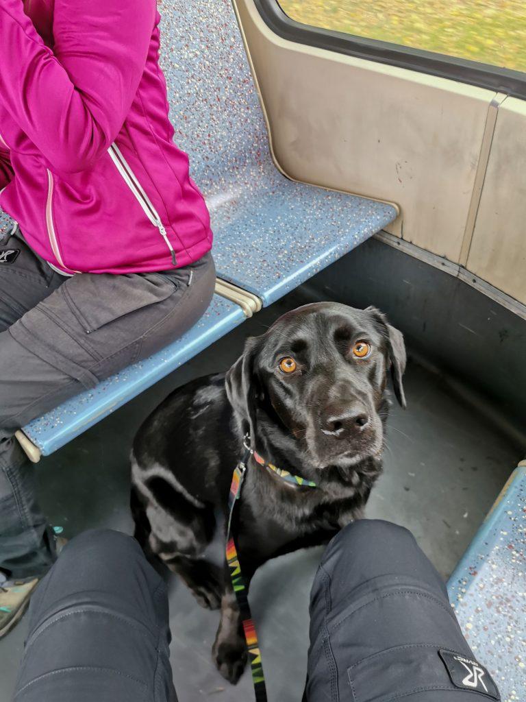 Straßenbahn Köln mit Hund