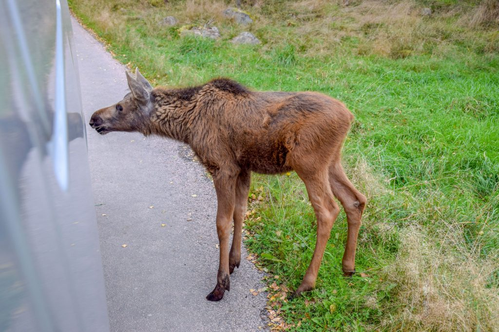 spontaner Besuch im Elchpark in Schweden